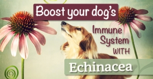 Echinacea-- the herb of choice for an immune system boost