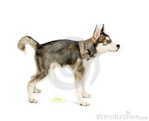 peeing-puppy-13629056