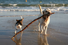 playful-dogs-beach-stick-1757357