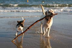 playful-dogs-beach-stick-1757357