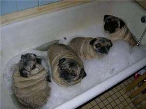 tub-full-of-fat-pugs-photo-u1