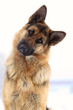 german-shepherd-12270656