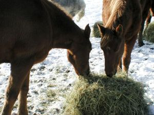 Horses_eating_hay