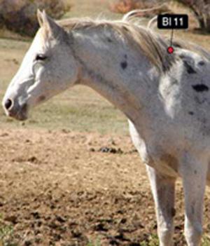 bladder 11 equine