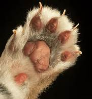 cat scratch fever paw