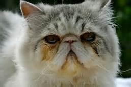 tear-stain-cat