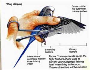 clip-birds-parakeet